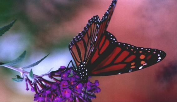 Butterfly0001